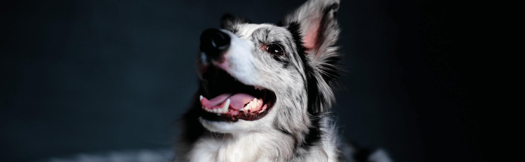 Blogas šuns burnos kvapas. Kodėl ir ką daryti